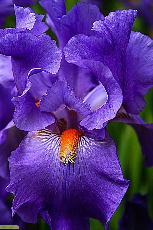 چگونه گل زنبق پرورش دهیم؟