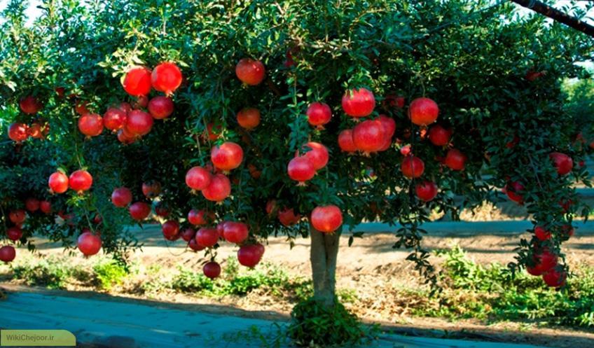 چگونه درخت انار پرورش دهیم؟