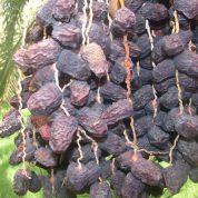 چگونه درخت خرما از طریق پاجوش تکثیر میشود؟
