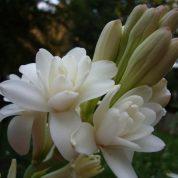 چگونه گل مریم پرورش دهیم؟