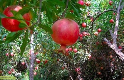پوست درخت و ریشه ی درخت انار