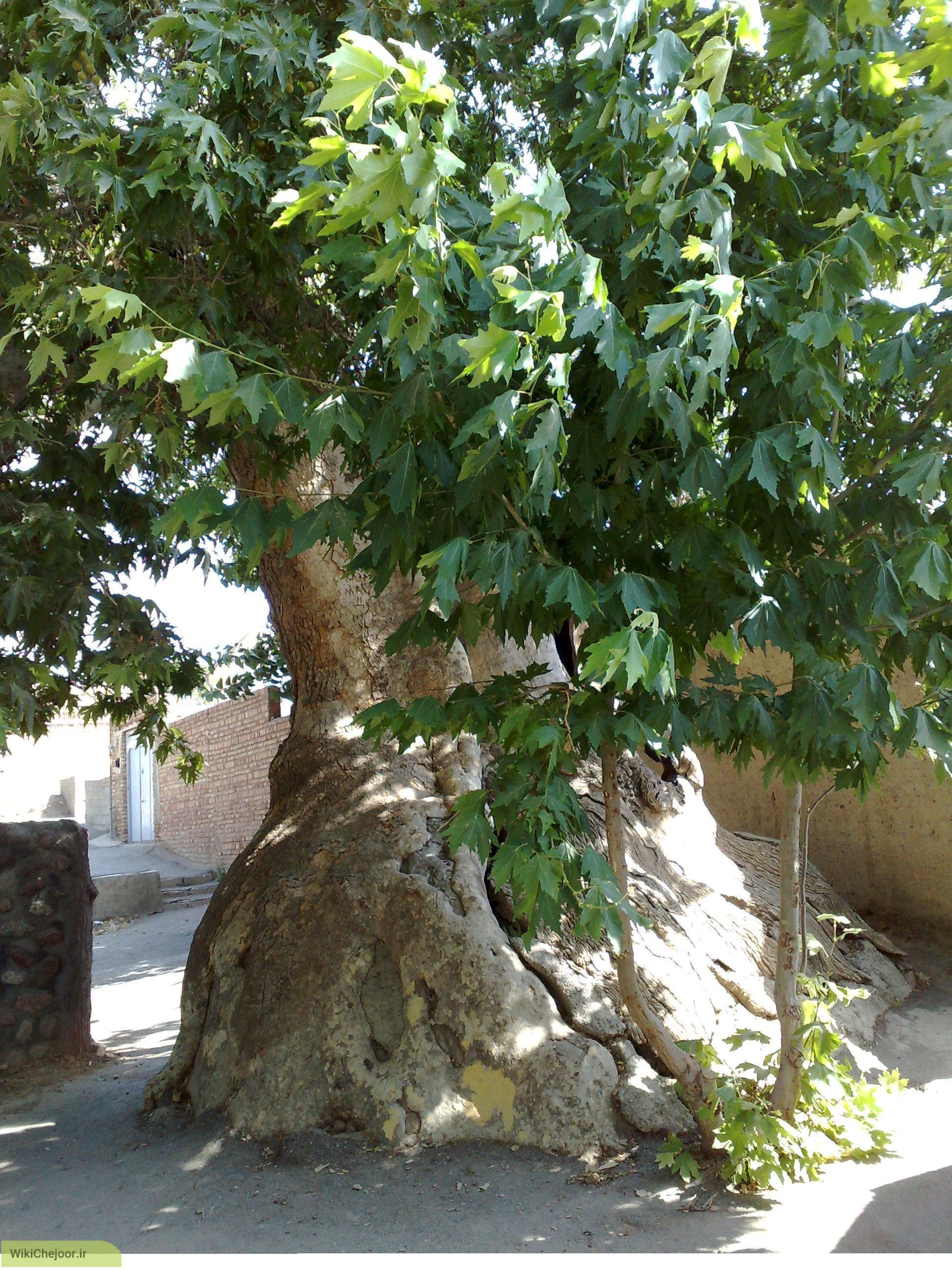 چگونه درخت چنار پرورش داده میشود؟