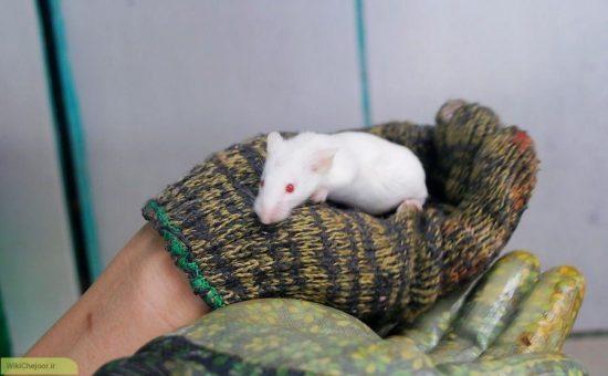 چگونه یک موش صحرایی را حمام کنیم بدون اینکه گاز نگیرید؟