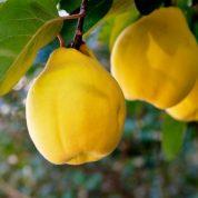 چگونه از میوه ی بِه برای حفظ سلامتی استفاده کنیم؟