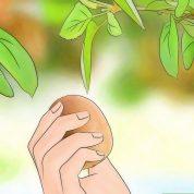 چگونه در خانه یا گلدان کیوی بکاریم