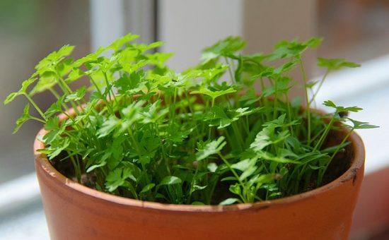 چگونه جعفری در خانه یا گلدان پرورش دهیم ؟