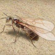 چگونه مورچه ملکه را تشخیص دهیم؟
