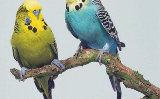 چگونه از یک مرغ عشق به عنوان حیوان خانگی نگهداری کنیم؟