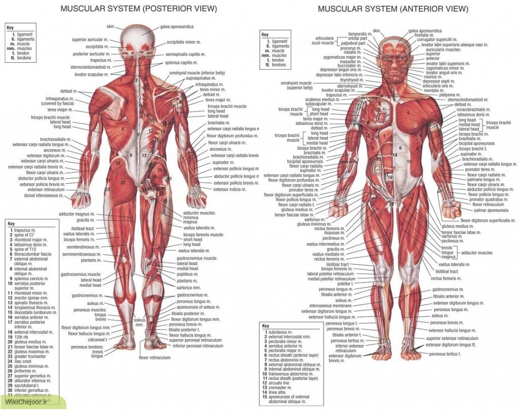 چگونه با عضلات ارادی بدن اشنا شده و ان هارا پرورش دهیم؟