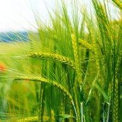 چگونه گیاهان بر اساس عملیات برداشت و طول عمر گروه بندی می شوند؟
