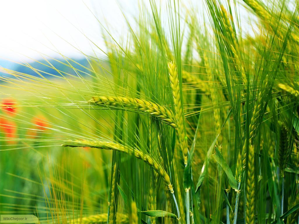 چگونه قبل از زراعت باید زمین را آماده نماییم؟