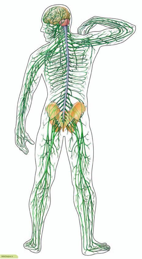 سیستم اعصاب