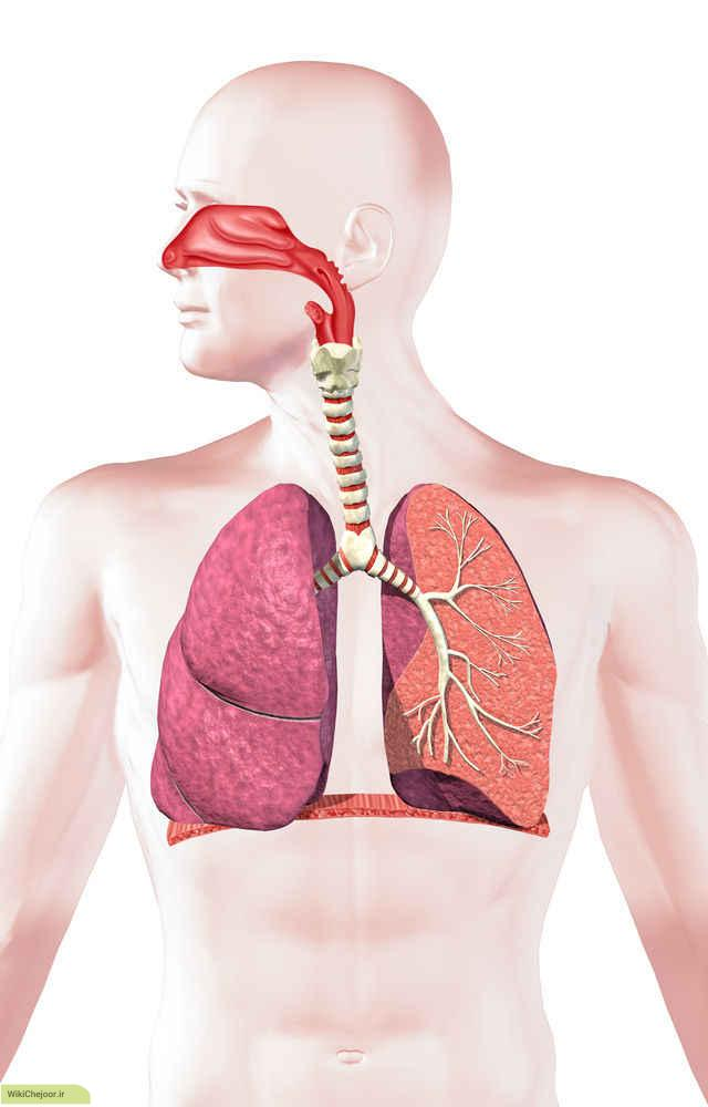 سیستم تنفسی