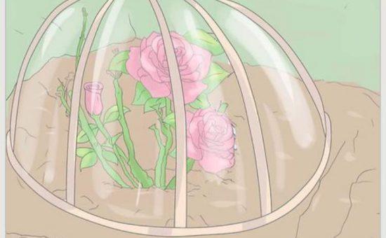 چگونه گل رز پرورش دهیم؟