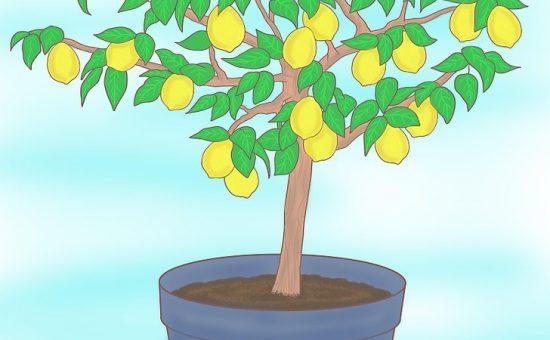 چگونه لیموترش را از طریق دانه پرورش دهیم؟