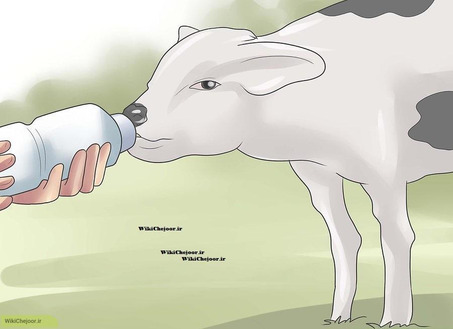 نگهداری از گاو