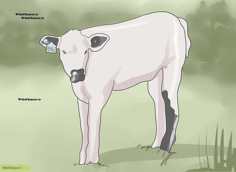 قبل از خرید یک گاو اهلی چه کارهایی باید کرد
