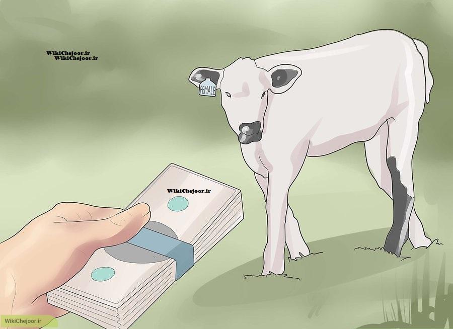 انتخاب و خرید گاو