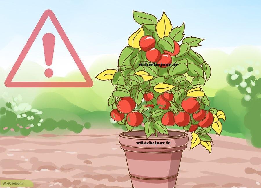 نگهداری از گوجه فرنگی گیلاسی