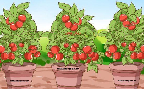 چگونه گوجه فرنگی گیلاسی در گلدان یا باغچه بکاریم؟