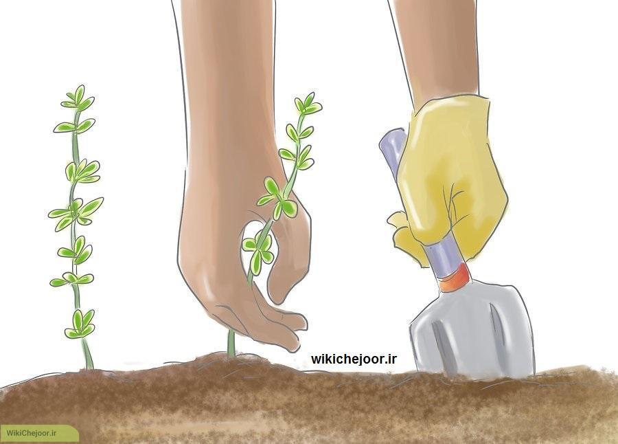 پرورش آویشن لیمویی