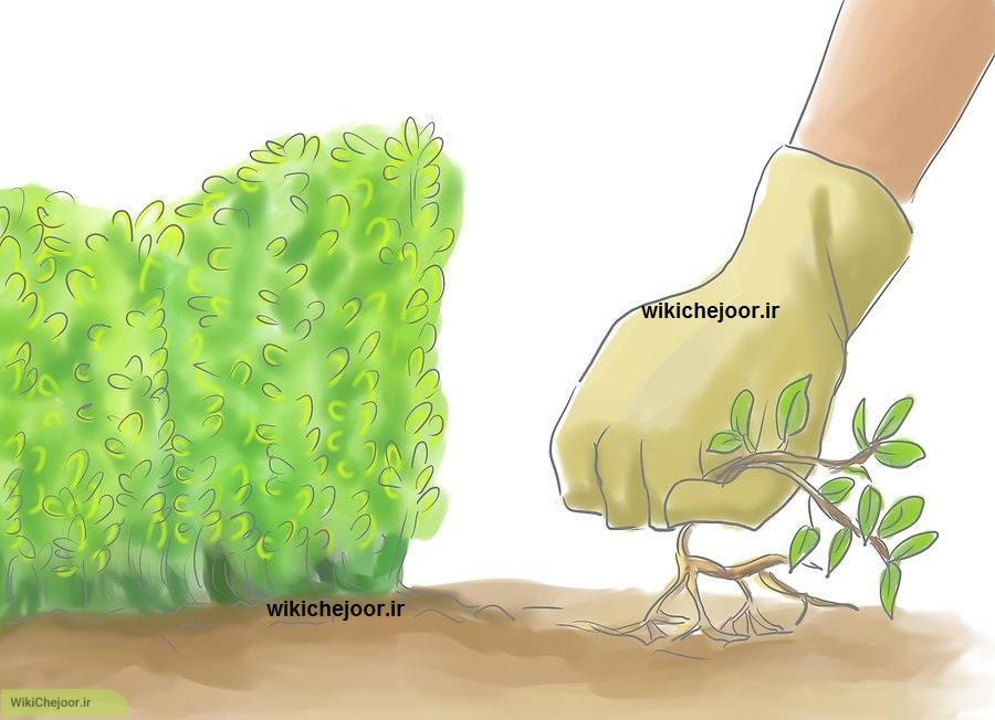 کاشت آویشن لیمویی | چگونه آویشن لیمویی پرورش دهیم و از آنها مراقبت کنیم؟