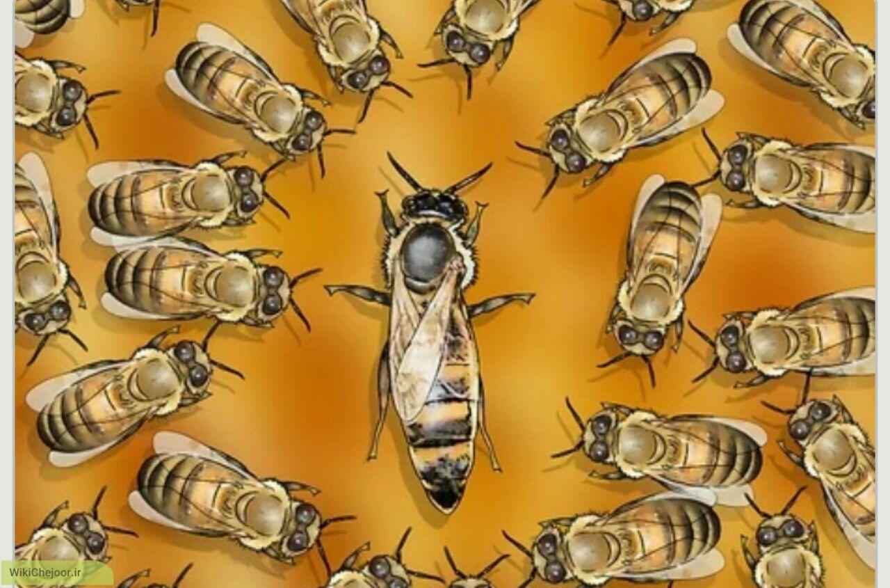 چگونه زنبور ملکه را شناسایی کنیم ؟