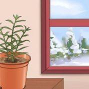 چگونه می توان گیاه زنجبیل را کاشت ؟