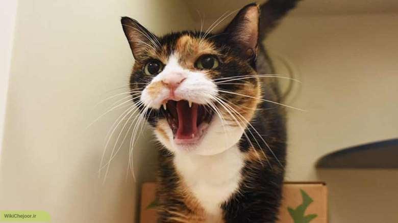 زبان گربه