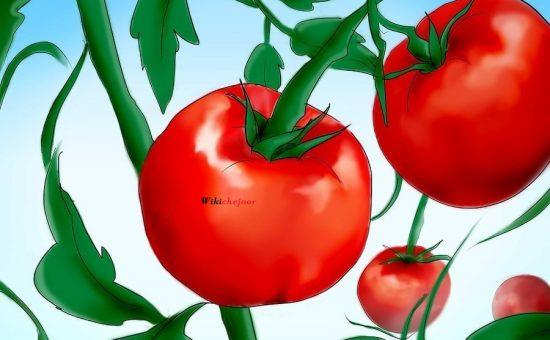 چگونه گوجه فرنگی از طریق دانه پرورش دهیم؟