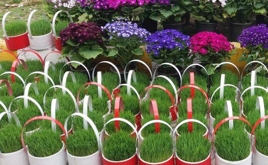 چگونه سبزه عید نوروز را سبز کنیم؟