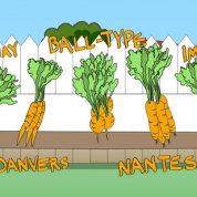 چگونه هویج پروش دهیم؟