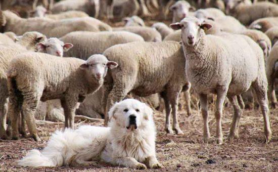 چه سگی برای نگهبانی مناسب است؟
