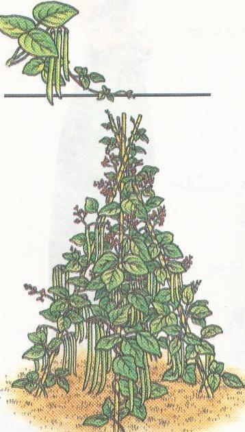 چگونه لوبیا سبز کشت کنیم؟