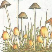 چگونه یک قارچ چتری رشد می کند؟