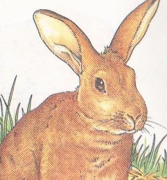 چگونه بچه خرگوش رشد می کند؟