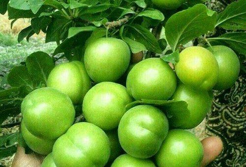 چگونه درخت  آلوچه یا گوجه سبز پرورش دهیم؟