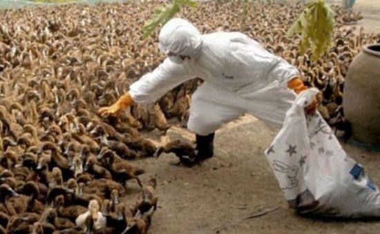 چگونه از ابتلا به آنفلانزای مرغی در امان باشیم؟