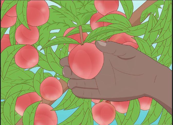 چگونه نهال آلو پرورش دهیم؟