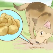 چگونه قارچ خوراکی دنبلان | دانبالان پرورش دهیم؟