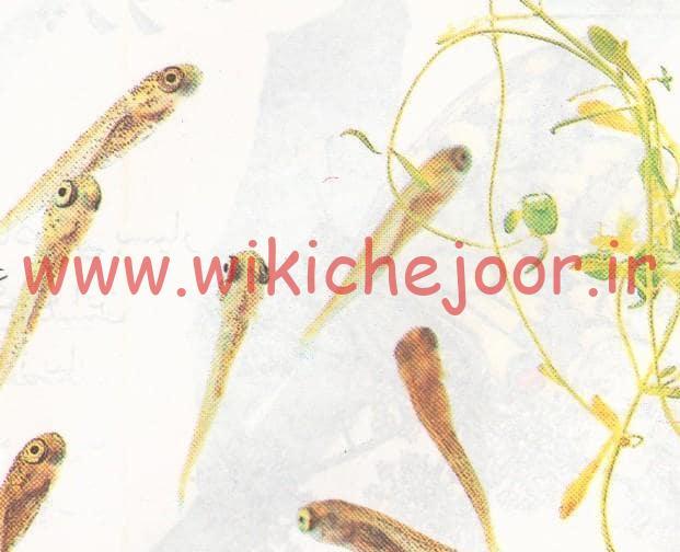 ماهی جوان