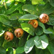 چگونه درخت ازگیل پرورش دهیم؟