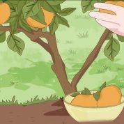چگونه درخت خرمالو پرورش دهیم؟
