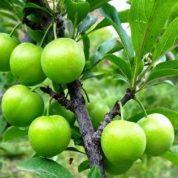 چگونه درخت گوجه سبز را هرس کنیم؟