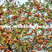 چگونه نهال سیب پرورش دهیم؟