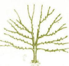 کاشت درخت در امتداد دیوار