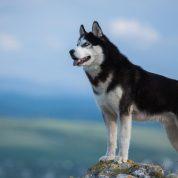 چگونه اصیل بودن یک سگ هاسکی را تشخیص دهیم؟