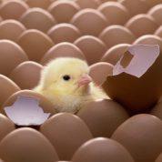 چجوری تخم نطفه دار تولید کنیم و پولدار شویم؟