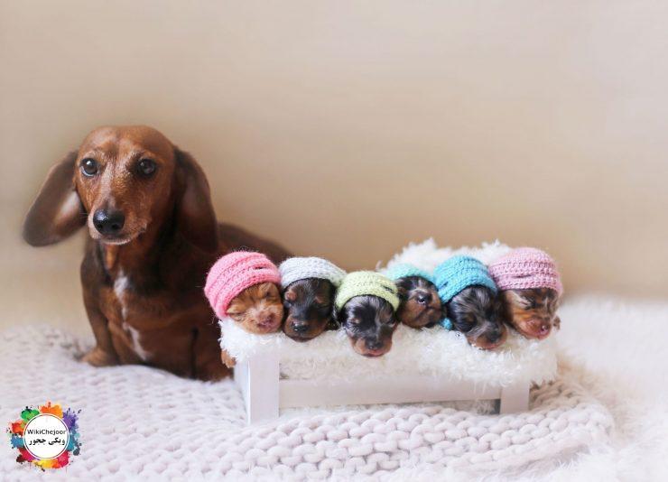 مراحل تولد توله سگ