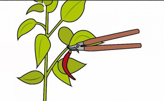 چگونه فلفل قرمز(تند) را در خانه پرورش دهیم؟